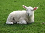 Peaceful lamb