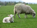 A lamb and its Mum