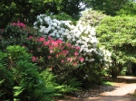 Rhododendrons in the woods