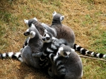 Ringtailed Lemurs, Edinburgh Zoo