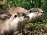 Otters, Edinburgh Zoo