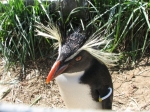 Rockhopper Penguin, Edinburgh Zoo