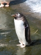 Penguin, Edinburgh Zoo