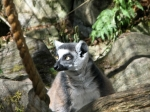 Ringtailed Lemur, Edinburgh Zoo