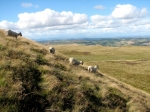 Sheep on West Lomond Hill