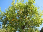 Lemon tree, Cordoba